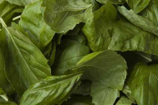 picture of basil leaves
