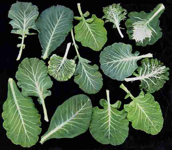 picture of collard greens
