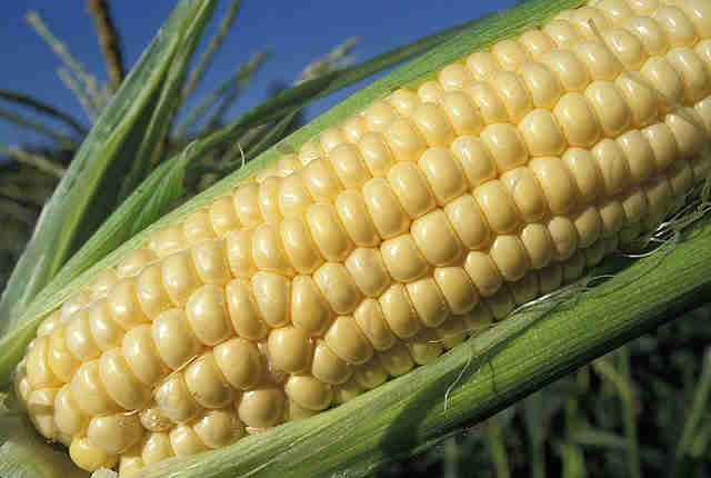 picture of yellow corn