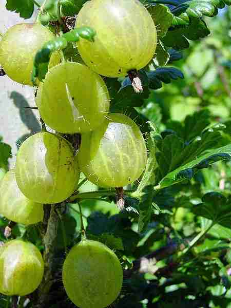 picture of gooseberries