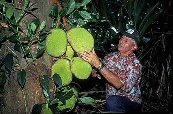 picture of jackfruits