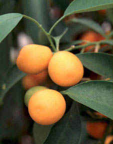 picture of kumquats