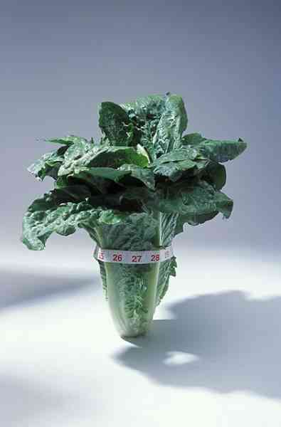 picture of Romaine lettuce