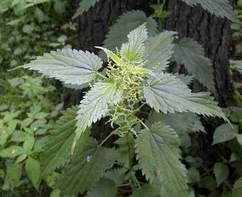 picture of stinging nettle