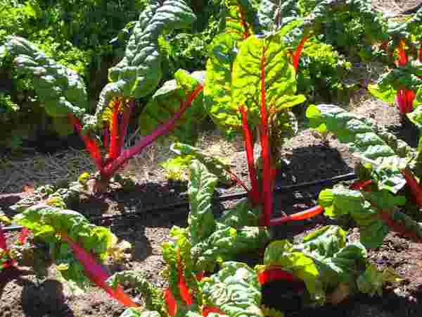 picture of Swiss chard